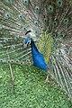 Kunming City Zoo Peacock (9964674865).jpg
