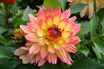 Kwiat Dalii.JPG