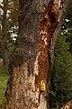 Laetiporus sulphureus (29035553613).jpg