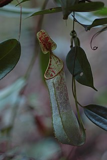 <i>Nepenthes hispida</i> species of plant