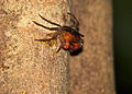 Land Crab (Geosesarma sp.) (15503016419).jpg