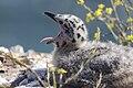 Larus occidentalis -San Luis Obispo, California, USA -chick yawning-8.jpg