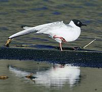 Larus philadelphia, California