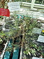 Launaea arborescens - Botanical Garden in Kaisaniemi, Helsinki - DSC03694.JPG