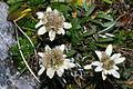Leontopodium alpinum vdv1.JPG