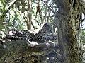 Leopardus geoffroyi uruguay.jpg