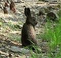 Lepus mandshuricus 50094956.jpg