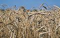 Les Plantes Cultivades. Cereals. Imatge 1819.jpg