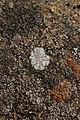 Lichen (42281091054).jpg