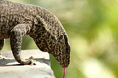 Licking Monitor Lizard.jpg
