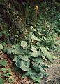Ligularia sibirica0.jpg