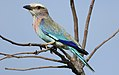 Lilac-breasted Roller, Coracias caudatus, at Elephant Sands Lodge, Botswana (32128577521).jpg