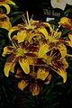 Lily Hybrid Grafitty. Loniflorum x Asiatic.jpg