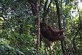 Lindungi Orang Utan Sumatera.jpg