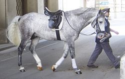 A gray horse with a saddle, being led