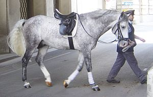 English saddle - A Lipizzan horse wearing a type of English saddle known as a dressage saddle.