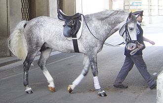 Longeing - Longe cavesson fitted with a bridle. Also note front leg wraps and that the stirrups are put up to keep them from hitting the horse's side.
