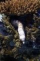 Lisbon, Oceanarium, Snowflake moray.JPG