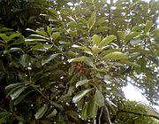 Lithocarpus edulis Nakai leaf acorn.jpg