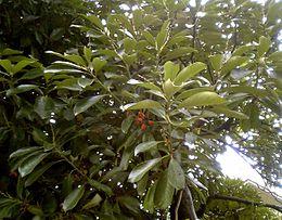 Lithocarpus edulis Nakai leaf acorn