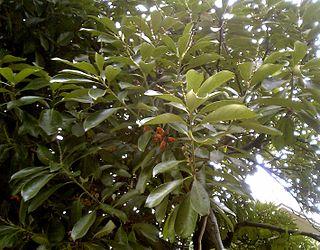 <i>Lithocarpus</i> Genus of plants