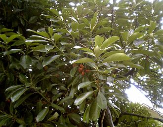 Lithocarpus - Lithocarpus edulis, Kantō region, Japan