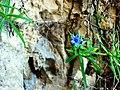 Lithodora rosmarinifolia1614.JPG