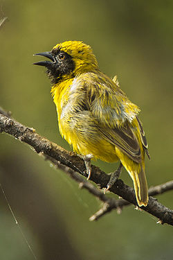 Little Weaver - Baringo - Kenya NH8O1263 (22229369863).jpg
