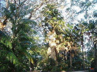 The Palmetum, Townsville - Image: Livistona saribus Townsville Palmetum
