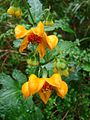 Loasa acanthifolia Desr por Pato Novoa - 103.jpg