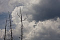 Lodgepole Pines and Clouds (3952553881).jpg