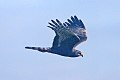 Long-winged Harrier (Circus buffoni) (8077673059).jpg