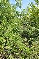 Lonicera caprifolium kz04.jpg