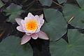 Lotus, jardins du muséum de Toulouse 2.JPG