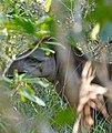 Lowland Tapir (Tapirus terrestris) male (29230205672).jpg