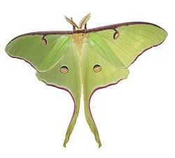 Luna Moth by Joey.jpg