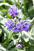 Lungwort (Pulmonaria) Trevi Fountain (3546207154).jpg