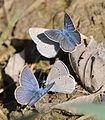 Lycaenidae sp.jpg