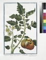 Lycopersicon Galeni - Pomidoro + Pomme d'ammour. (Tomato) (NYPL b14444147-1125092).tiff