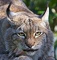 Lynx 6 (8148819297).jpg