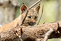Lynx Kitten Teething on Branch (15254045155).jpg