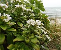 Lysimachia mauritiana.jpg