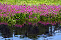 Lythrum salicaria, water reflection, Concord, Massachusetts 1.jpg