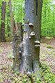 MOs810, WG 2014 20, OChK Las Miejski (Dabrowa Smoszew natural reserved) (6).JPG