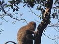 Macaque berbère à Ziama Mansouriah 8 (Algérie).jpg