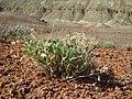 Machaeranthera grindelioides (7283753862).jpg