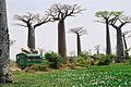 Madagascar baobabs.jpg
