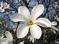 Magnolia Toruń.jpg