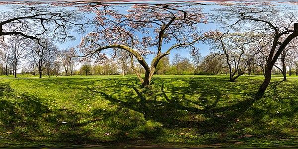 A flowering magnolia
