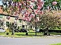 Magnolienblüte in Watermael-Boitsfort (Region Bruxelloise).jpg